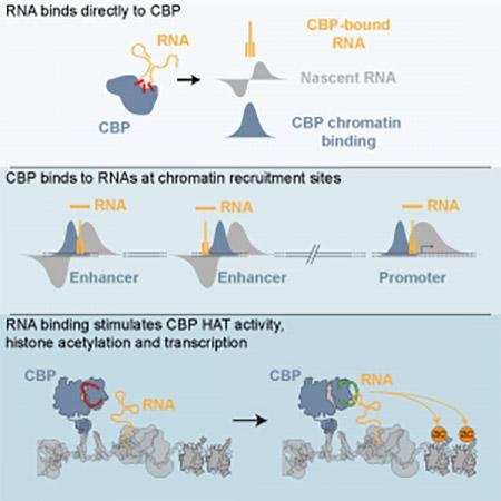 RNA Binding to CBP Stimulates Histone Acetylation and Transcription