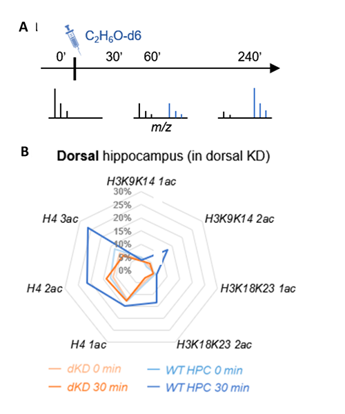 Alcohol-derived acetate is incorporated into brain histone acetylation.