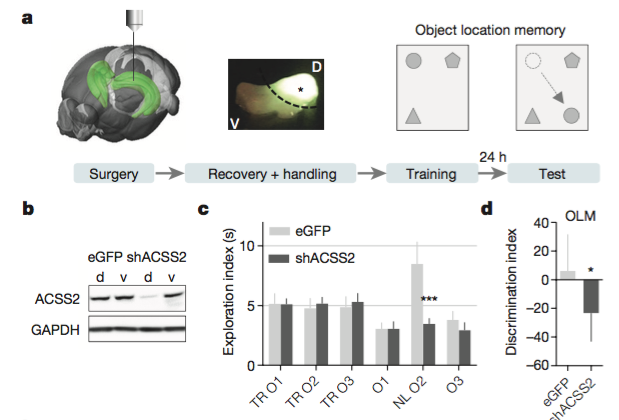 ACSS2 knock-down in the dorsal hippocampus impairs object location memory.