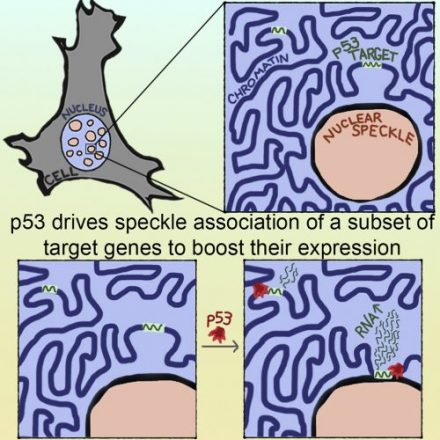 Excited to share our research highlighting a new role for the transcription factor p53 in re-locating its target genes within the nucleus in relation to nuclear speckles, phase-separated nuclear bodies, that boost gene expression of select target genes.